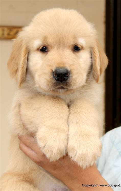 1000 Images About Golden Retriever Puppies Pictures On