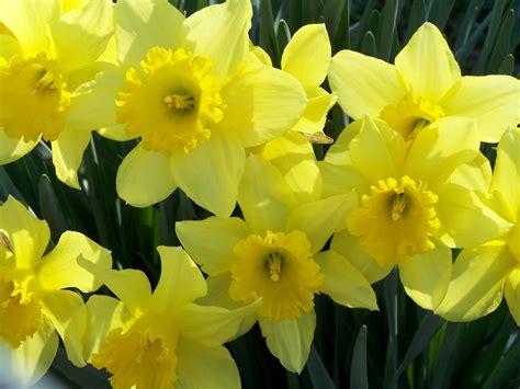 daffodils  life  beautiful  fragile napkinwriter