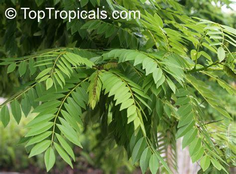 Gliricidia maculata, Gliricidia sepium, Gliricidia, Madre de Cacao, Madura   TopTropicals.com
