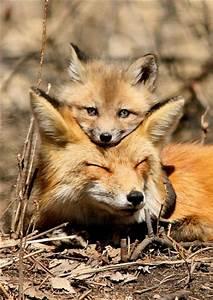 Bébé renard - Les animaux trop mignons