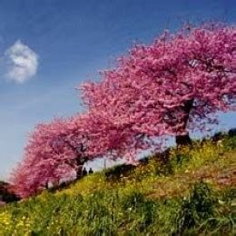 different types of cherry trees growing 3 different types of flowering cherry trees