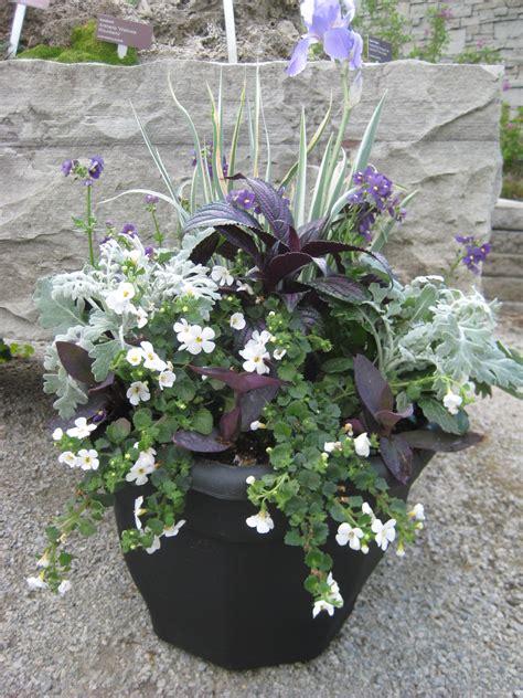 dusty miller persian shield purple heart bacopa verbena variegated iris substitute