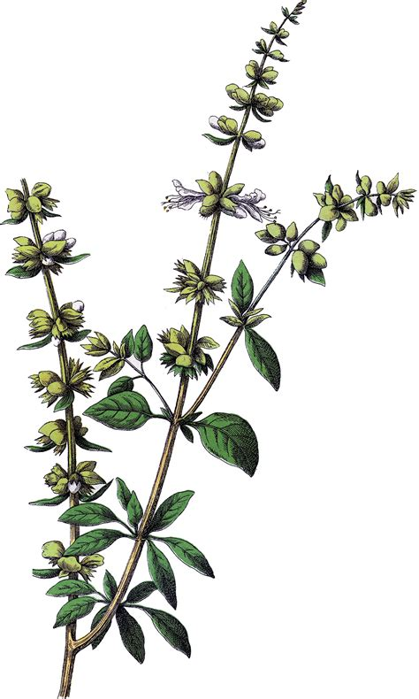 graphics clipart vintage basil herb image the graphics