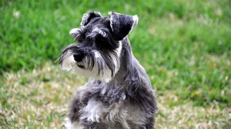 do schnauzers shed barking royalty