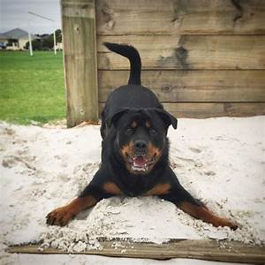 best 25 rottweilers ideas on pinterest With rottweiler dog training