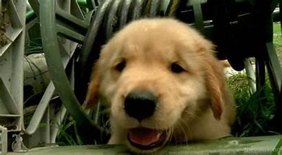 Gifs Golden Retriever Dog Puppy Puppies Dogs