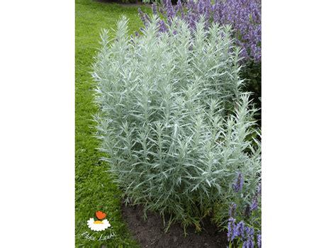 Latvijas stādi - Artemisia ludoviciana 'Silver Queen ...