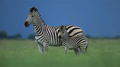 Zebra Animal Wallpaper - beautiful animals images beautiful cool wallpapers