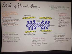 Thefatstudent   U201c9 32pm     Sliding Filament Theory Of Muscle
