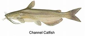 West Virginia DNR - Sport Fishing Species Identification