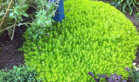 sedum ground cover sedum lemon ball rock gardens ground covers pinterest