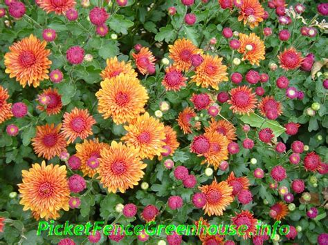 planting mums how to grow mums nothing fall like mums also called chrysanthemum