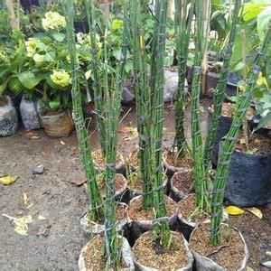 jual bambu air tanaman hias lapak plant shop adityasatriya