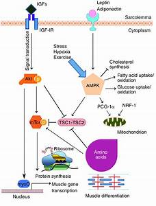 Signaling Pathways Controlling Protein Synthesis And