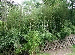Bambus Pflanzen Sichtschutz : bambus pflanzenshop bambus als sichtschutz kaufen ~ Markanthonyermac.com Haus und Dekorationen
