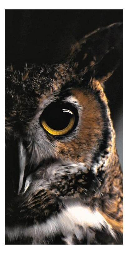 Animals Owl Wild Dbdessert Wildlife Birds