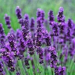 Plant De Lavande : lavender hidcote blue flower seeds under the sun seeds ~ Nature-et-papiers.com Idées de Décoration