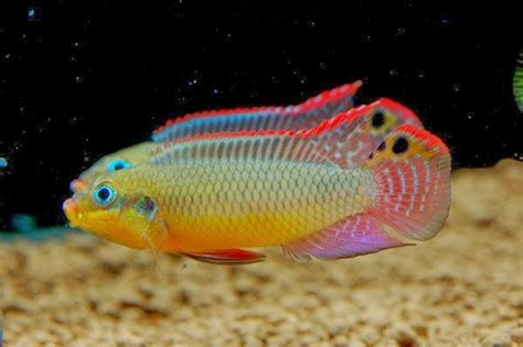 most colorful cichlids the cichlid fish has a colorful appearance which