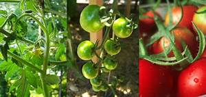 tomatoes the of self pollination bugvibes
