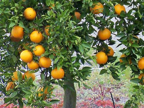 planter un oranger en pot la zone de l oranger qu est ce que c est