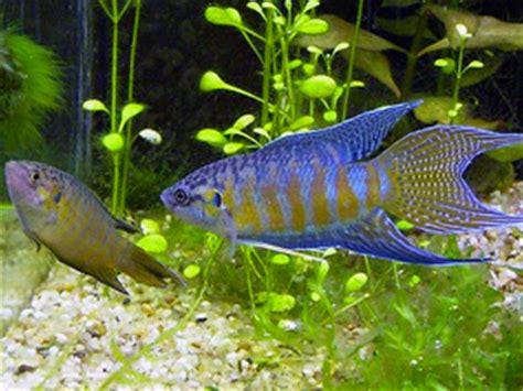 paradise fish care size life span tank mates breeding