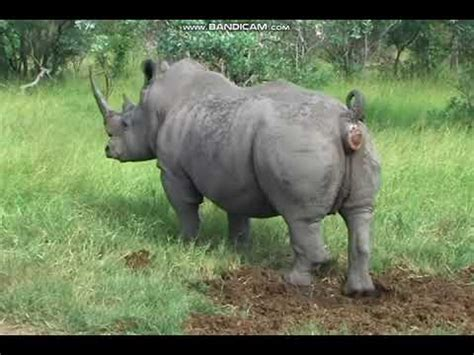 rhino poop explosion ytp youtube