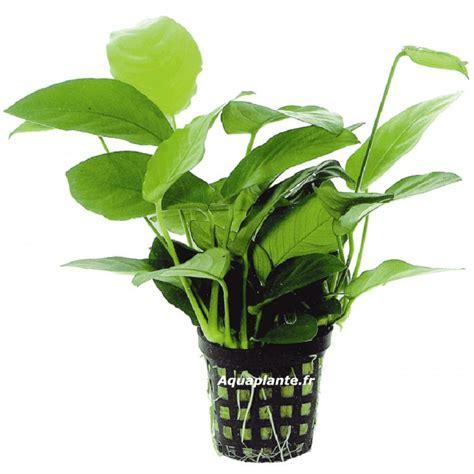 plante milieu plan d aquarium anubias nana pour aquarium eau douce 5 45