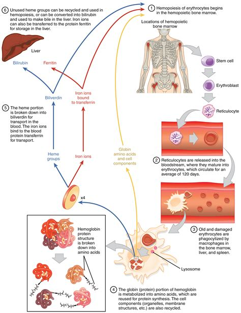 anatomy physiology erythrocytes voer