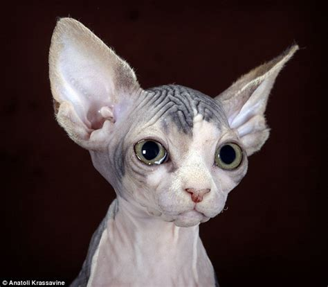 With The Batlike Ears And Wedge Shaped Heads, The Sphynx