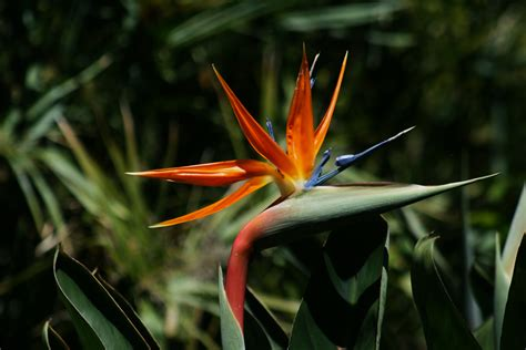 bird of paradise plant how to transplant bird of paradise garden guides