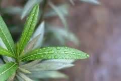 Was Tun Gegen Mehltau : oleander hat l use diese hausmittel helfen ~ Orissabook.com Haus und Dekorationen