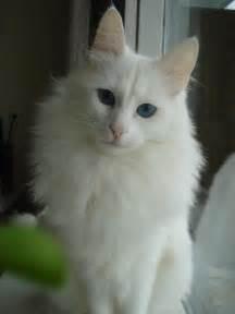 turkish angora cats 25 best ideas about turkish angora cat on