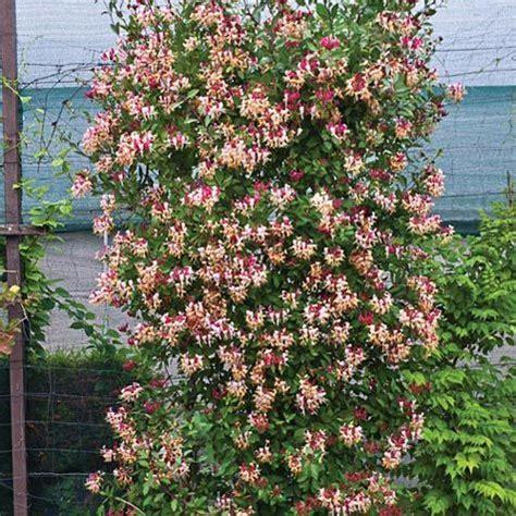 vining plants for sun fragrant cloud honeysuckle gurneys seed nursery