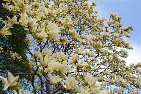 magnolia tree varieties australia magnolia magnolia grandiflora alberi magnolia magnolia grandiflora alberi