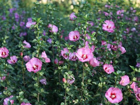 arbustes à fleurs arbuste fleurs roses automne