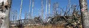 Acid Rain  Damage To Trees Caused By Acid Rain