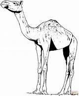 Camel Coloring Colorare Disegno Cammello Dromedary Gratis Disegni Stampare Realistico Ausmalbilder Alto Camels Printable Camila Dromadaire Colorear Colorat Tiere Animals sketch template