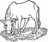 Coloring Pages Cow Printable Cows Coloringme Source sketch template