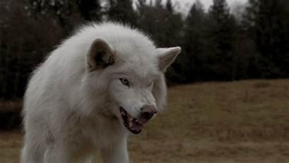 Wolves Wolf Animal Amazing Arctic Alaska Eyes