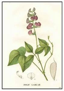 Bataw / Lablab purpureus / Hyacinth bean : Philippine ...