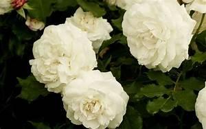 Boule De Rose : the 14 best pure and beautiful white rose varieties ~ Teatrodelosmanantiales.com Idées de Décoration