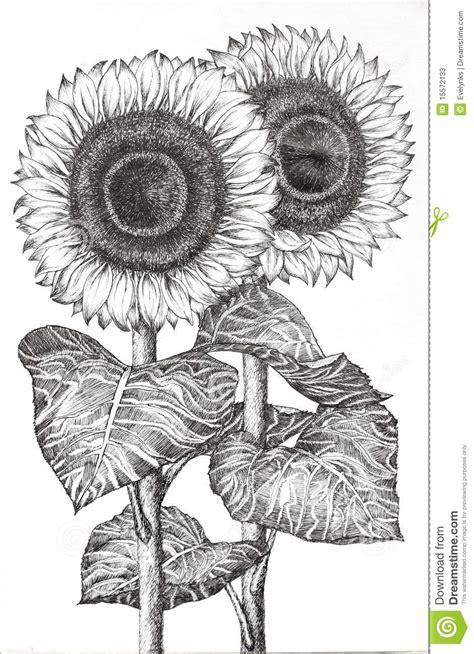 hand drawn image   sunflowers stock illustration