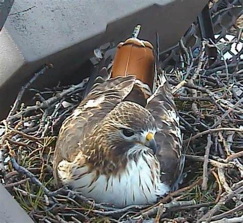laura s birding blog cornell lab s red tailed hawk nest cam