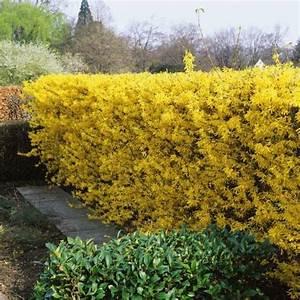 Plantes à Feuillage Persistant : 17 meilleures id es propos de haie feuillage persistant ~ Premium-room.com Idées de Décoration