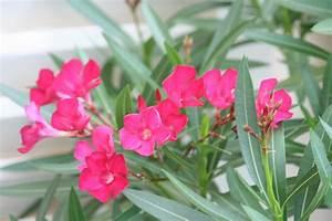 Laurier Rose Entretien : rosier nature taille de laurier rose ~ Melissatoandfro.com Idées de Décoration