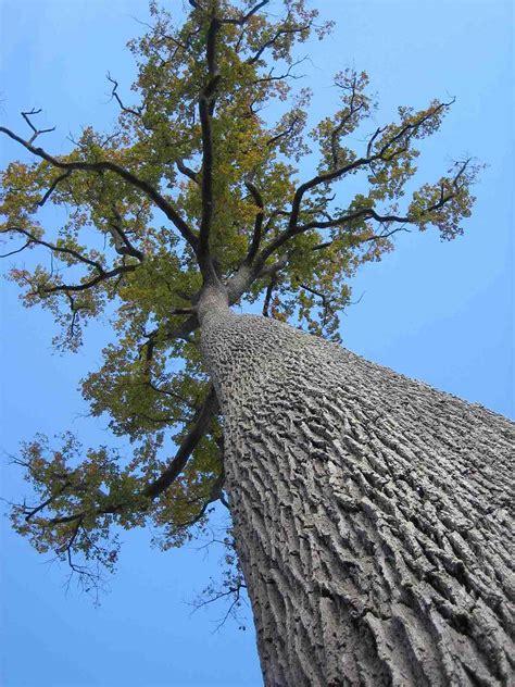 oak australia oak australia 28 images desert oak stock photos and pictures getty images war memorial