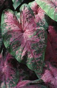Zimmerpflanze Große Blätter : zimmerpflanzen mit gro en gr nen gelben und roten bl tter ~ Lizthompson.info Haus und Dekorationen