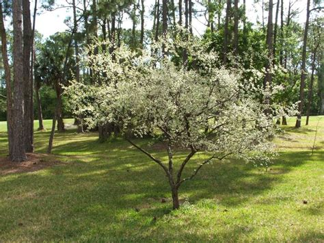 flowering trees sun chickasaw plum prunus angustifolia florida native shrub small tree full sun to light shade