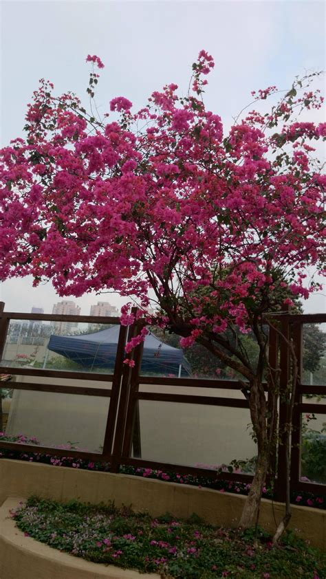 Identification  What Is The Name Of This Flowering Tree