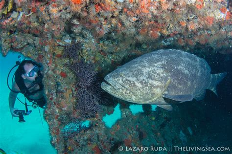 grouper goliath protect diver help survey take specialty wreck padi month august diving florida puravidadivers